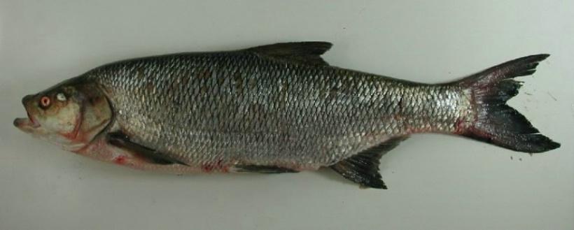 asp fisk